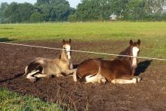 Foal-2015-Galahad-and-Robin