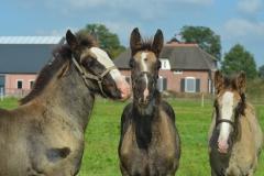 2016-Foal-Hamlock-Diamond-Jack-and-Rachel