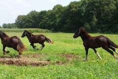 Shires-in-field-aug-2014-9